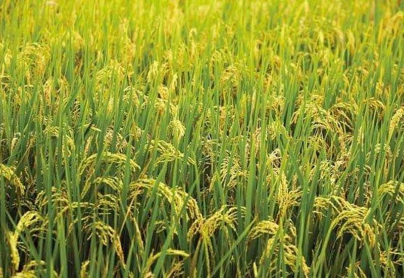В Азербайджане увеличилось производство неочищенного риса