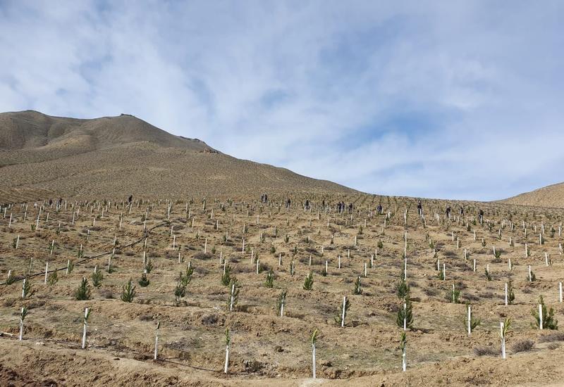 В Зангилане посадили деревья