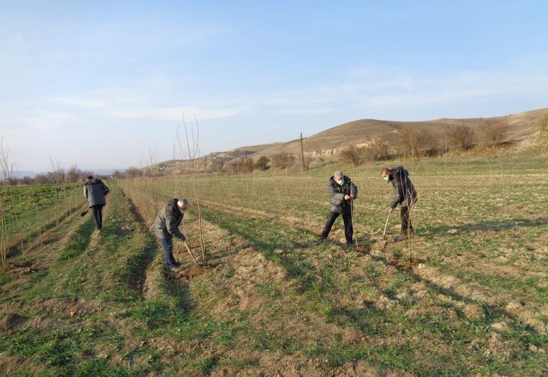 В освобожденном Зангилане посадили еще 400 тутовых деревьев