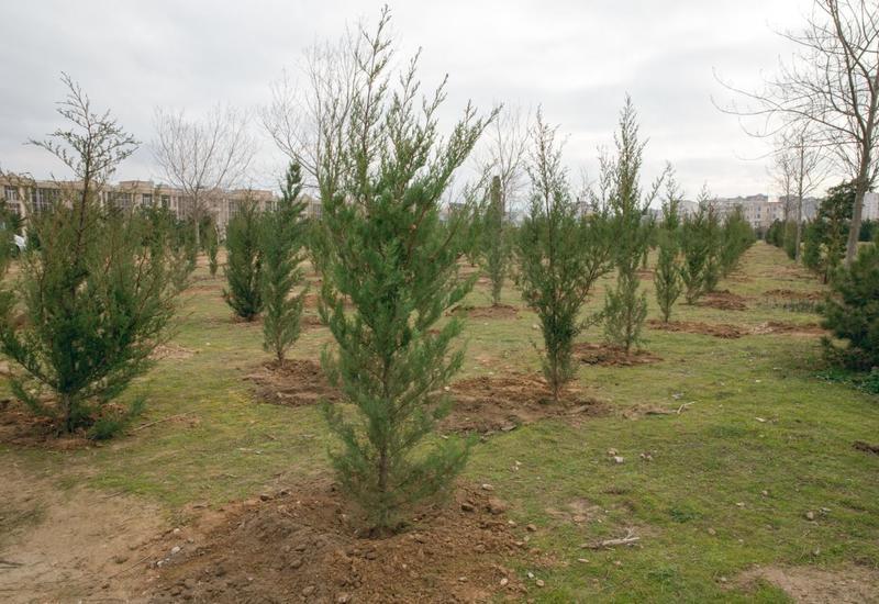 Замминистра экологии Азербайджана о сезонной высадке деревьев в Зангилане