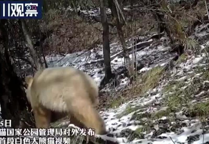 Редчайшая панда-альбинос попала в объектив камеры