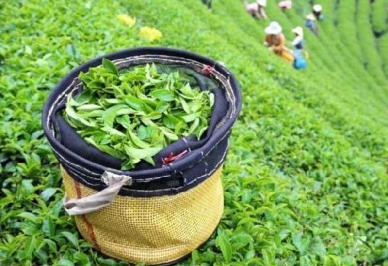 Грузия увеличила импорт азербайджанского чая