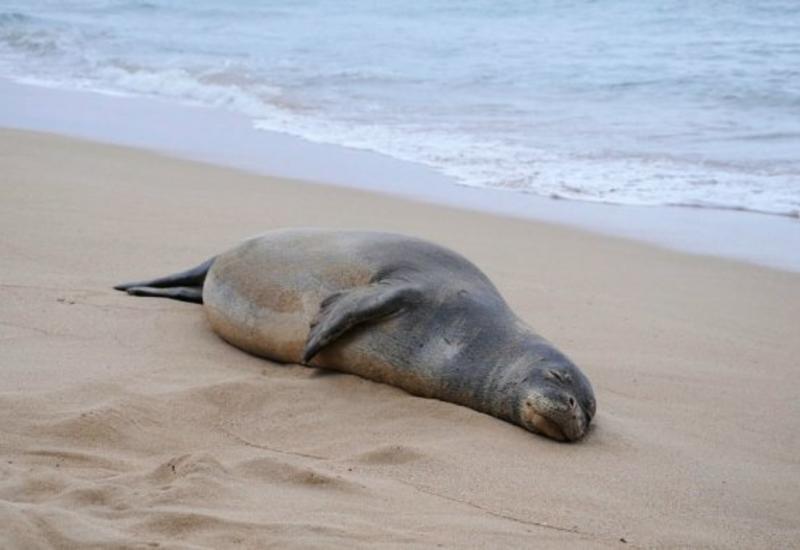 Ученые объяснили таинственную гибель тюленей на Каспии