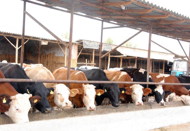 С сегодняшнего дня импорт племенного скота и цыплят освобождается от таможенных пошлин