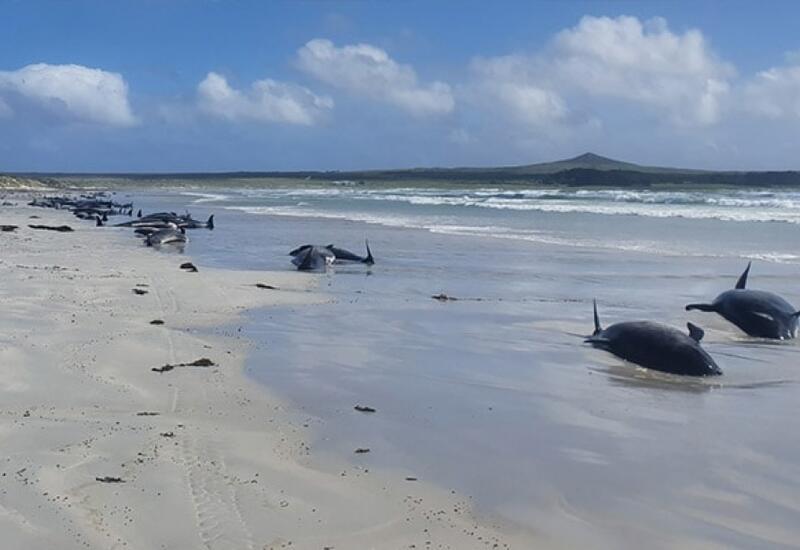 Около 50 дельфинов-гринд выбросились на отмель в Новой Зеландии
