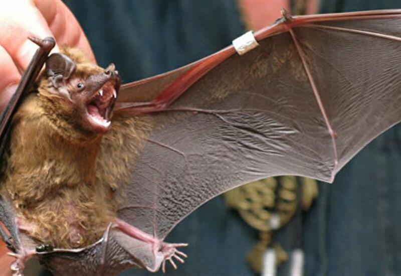 Ученые опасаются новой пандемии из-за другого вируса летучих мышей