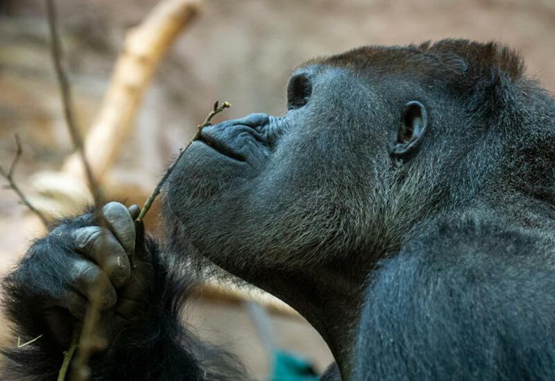COVID-19 выявили у двух львов и самца гориллы в зоопарке Праги