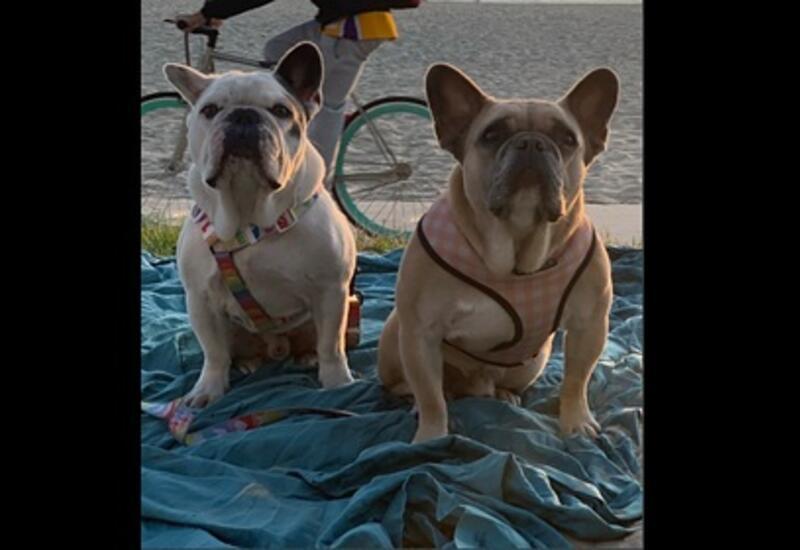 Леди Гаге вернули похищенных собак
