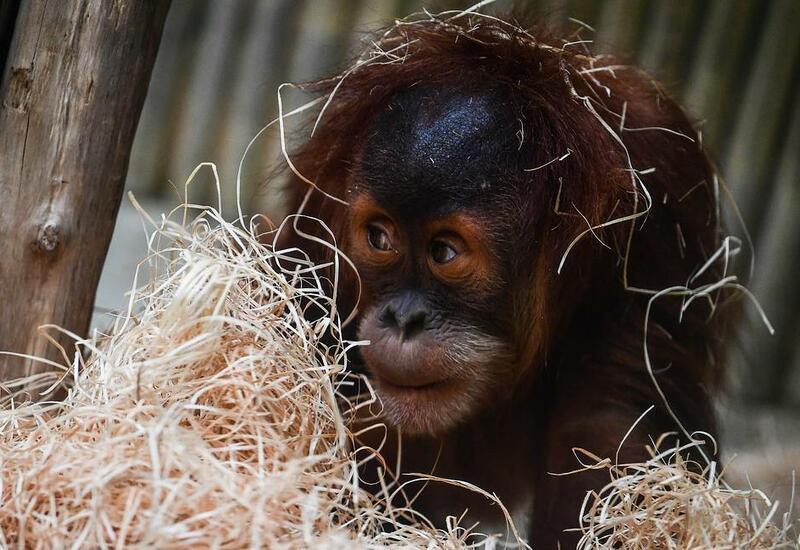 В США впервые в мире привили приматов от COVID-19