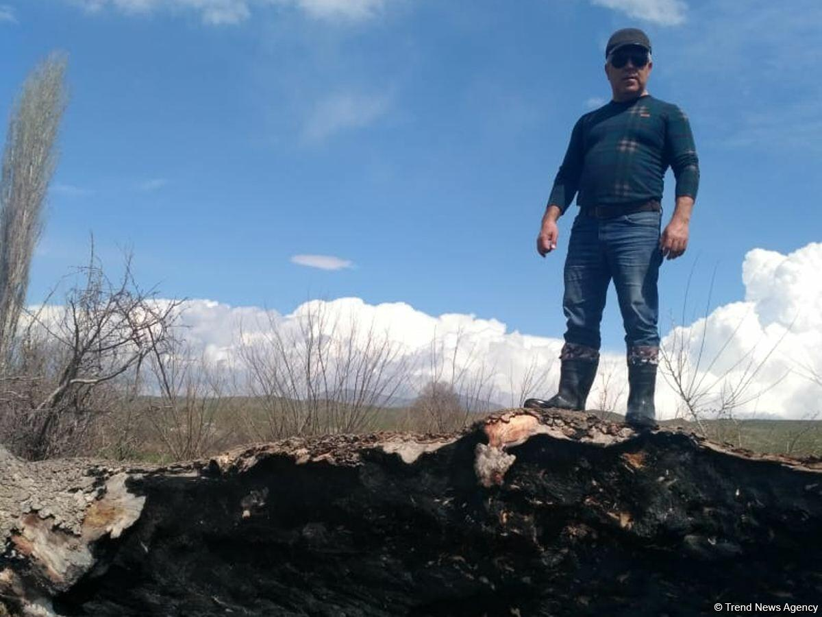 Армяне уничтожили тысячелетние ханские чинары в Зангилане