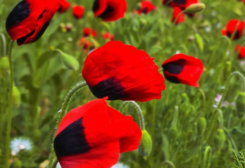 В Баку расцвели тюльпаны