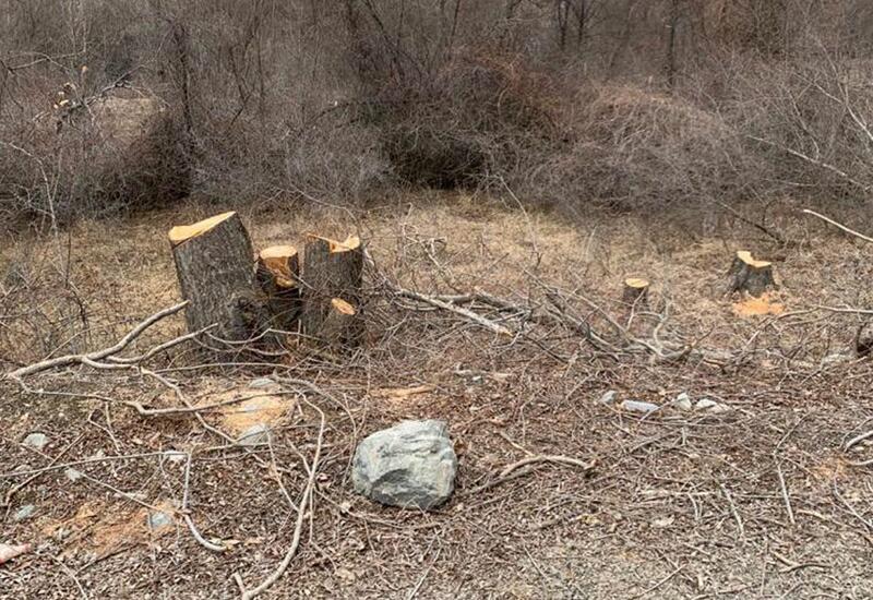 Армяне уничтожили 35 редких восточных платанов на территории Азербайджана