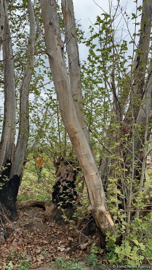 Армяне беспощадно уничтожили 800-летний восточный платан в Джебраиле