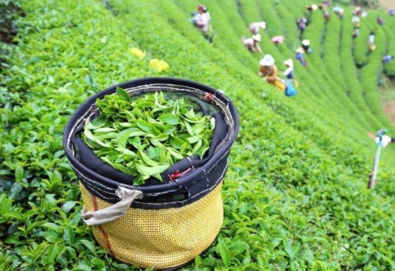 В Азербайджане импорт чая превысил экспорт более чем в 12 раз