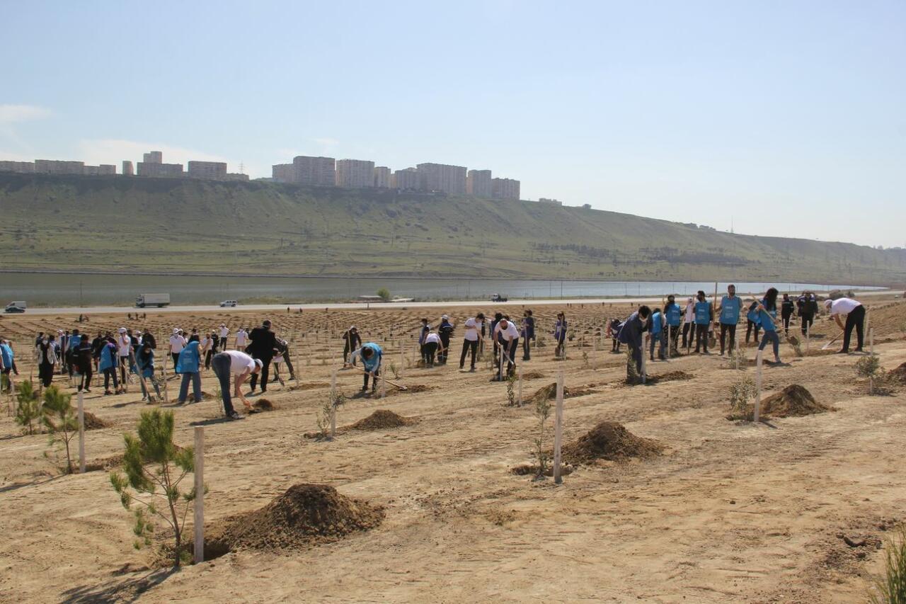 В бакинском поселке Ходжасан посажено 500 деревьев