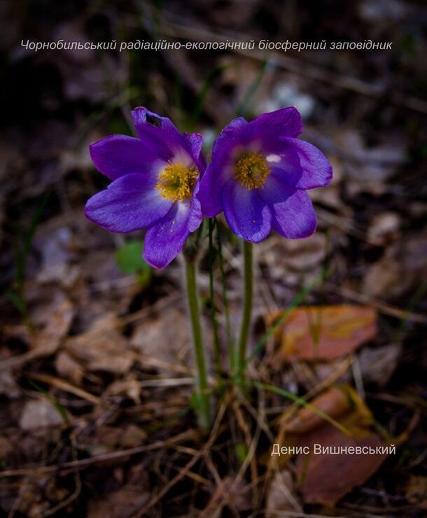 В Чернобыльском заповеднике нашли редкие цветы