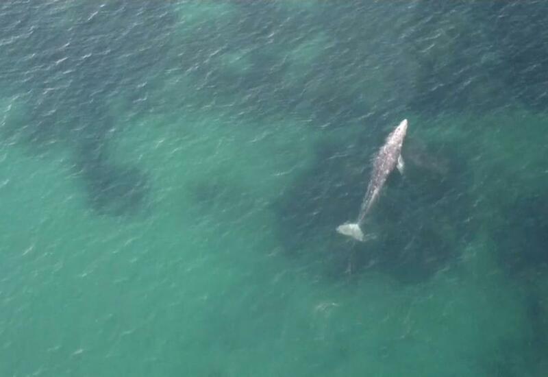 Потерянный в море: детеныш серого кита добрался до Франции