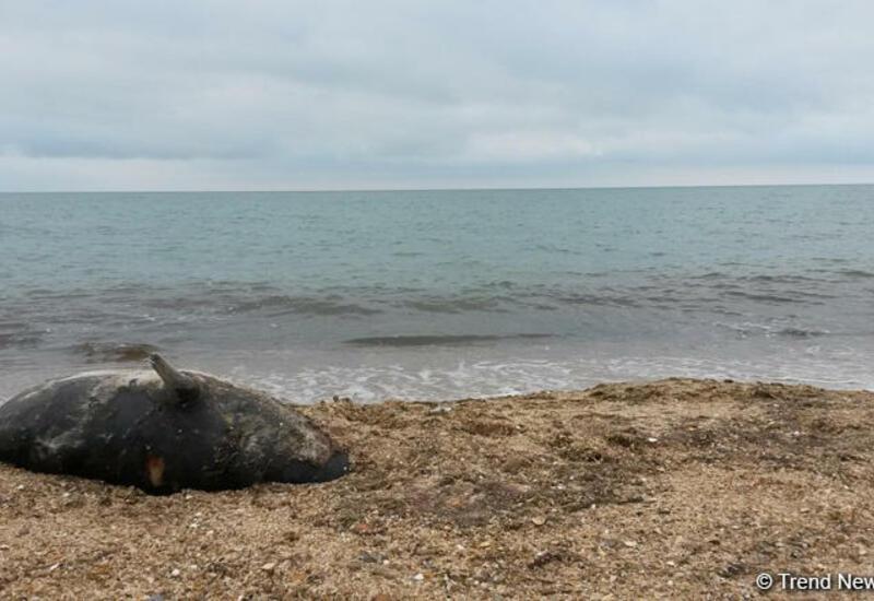 Минэкологии Азербайджана о причине гибели тюленей на побережье Абшерона
