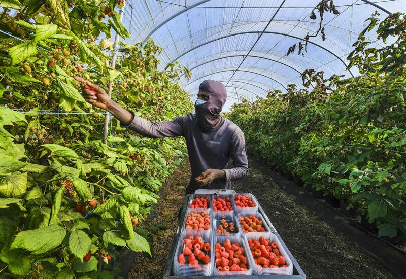 Рабство на португальских фермах