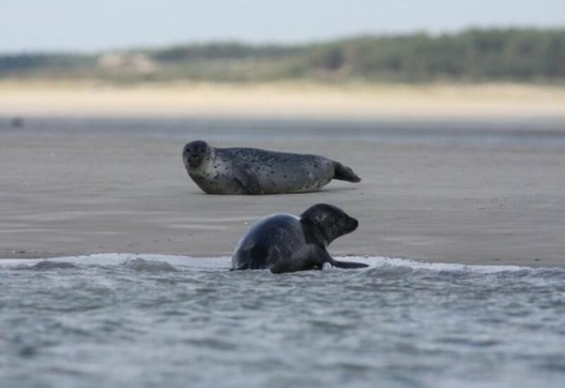 Ученые назвали причину массовой гибели тюленей на берегу Каспия