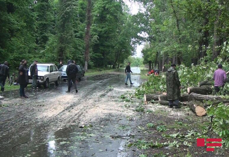 Сильный ветер повалил деревья в Балакенском и Загатальском районах