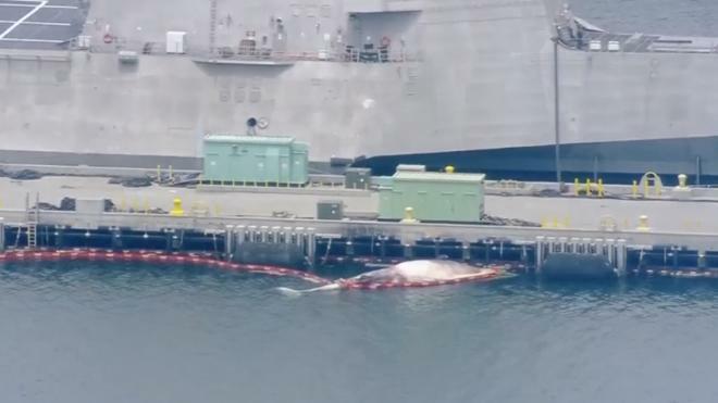 В Калифорнии два редких кита погибли под винтом эсминца ВМС Австралии
