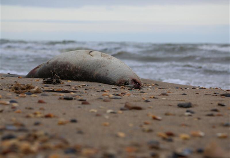 На берегу Каспийского моря нашли более 200 мертвых краснокнижных нерп