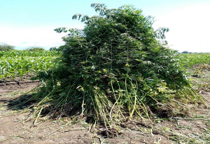 В Балакене уничтожено 4 тонны конопли
