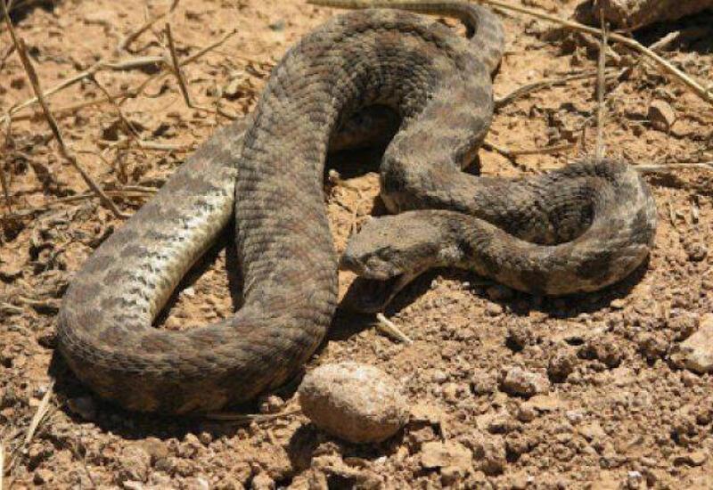 В Азербайджане обнародована статистика отравлений от укусов змей