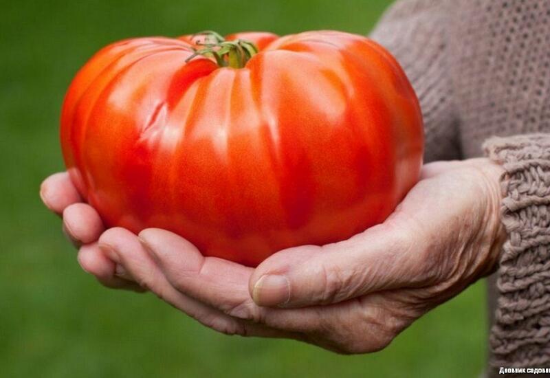 В Азербайджане вырастили уникальный томат
