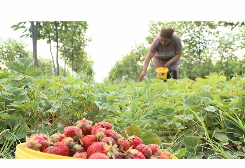Клубничные плантации фермеров Карабаха