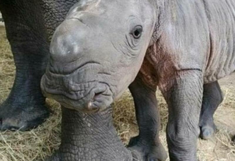 В зоопарке США родился редкий белый носорог