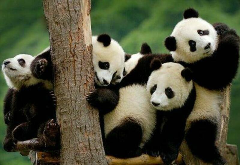 Больших панд спасли от вымирания