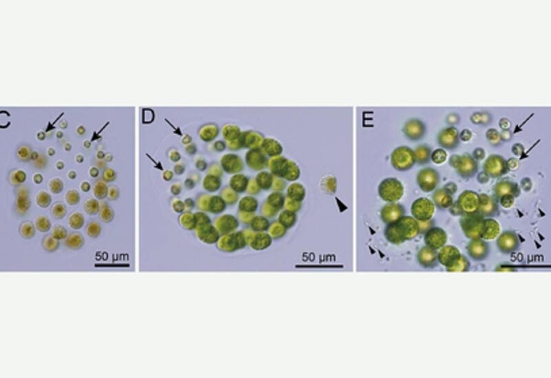 Впервые обнаружен организм с тремя полами