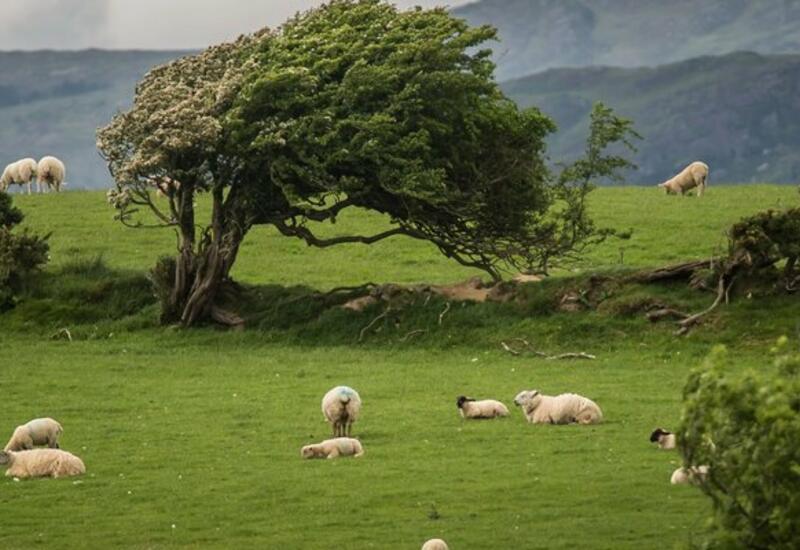 В Ирландии кладбище приняло на работу стадо овец