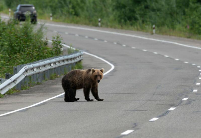 В России медведи выходят на трассы в поисках еды