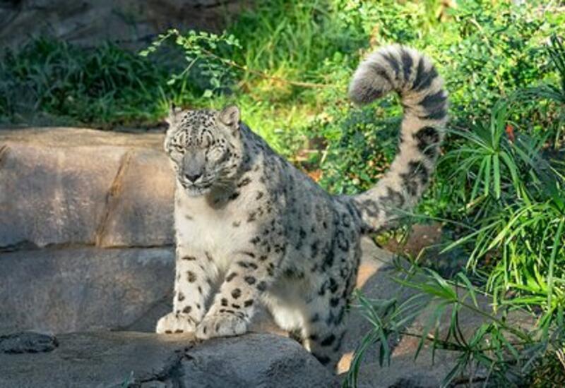 Редчайшие снежные леопарды пошли на поправку после заражения COVID-19