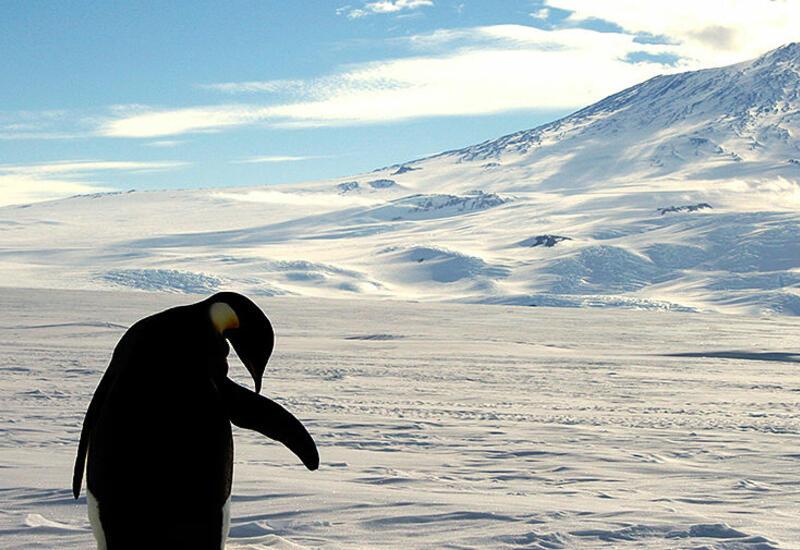 Таяние ледников может привести к вымиранию 98% колоний императорских пингвинов