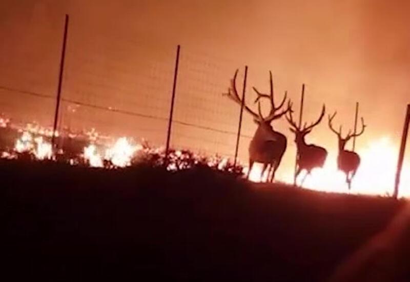 Пожарные спасли трех оленей из огненной западни