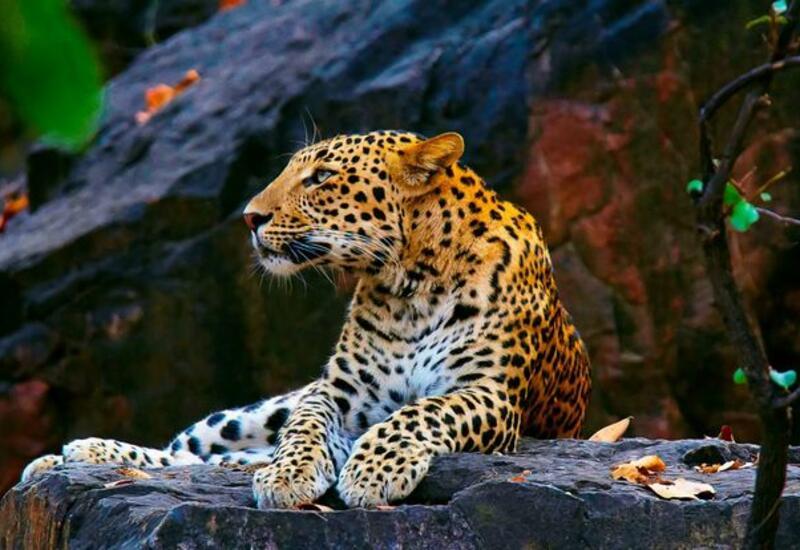 В Германии леопард искромсал модели голову во время фотосессии