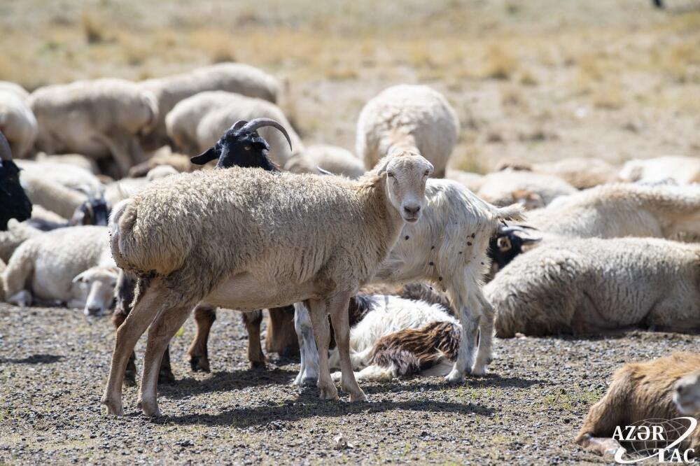 В Кяльбаджаре завершается сезон яйлага, овцеводческие хозяйства возвращаются на зимние пастбища
