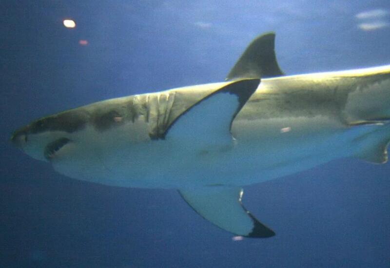 Трехметровая акула атаковала рыбаков в России