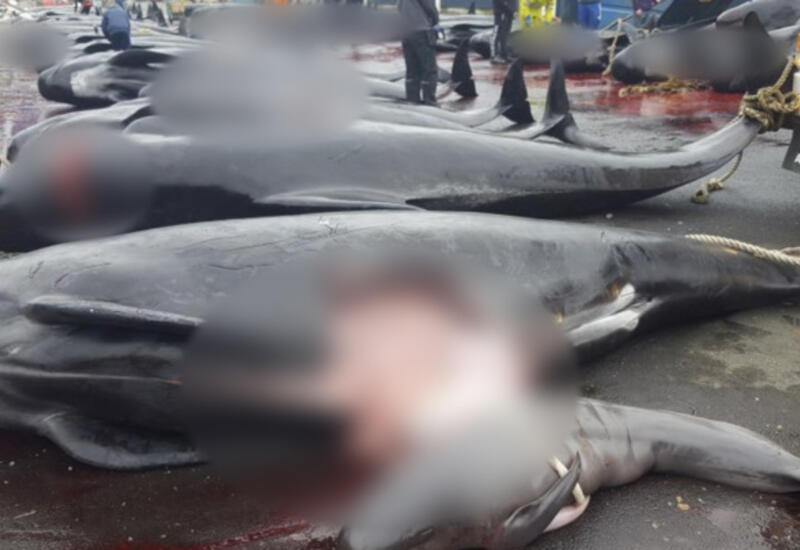 Люди в красной от крови воде: в Дании произошло самое массовое убийство дельфинов в истории