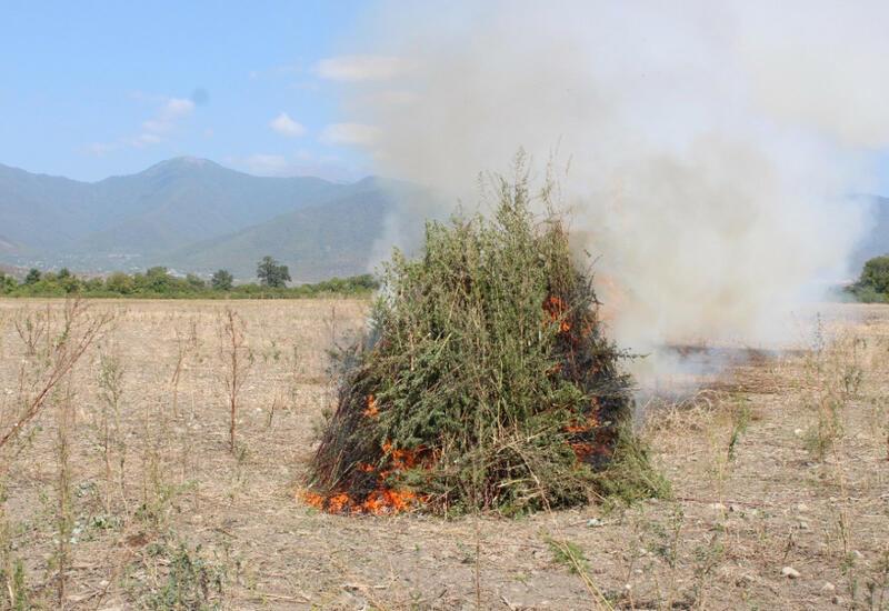 В Огузе уничтожено более 3 тонн конопли