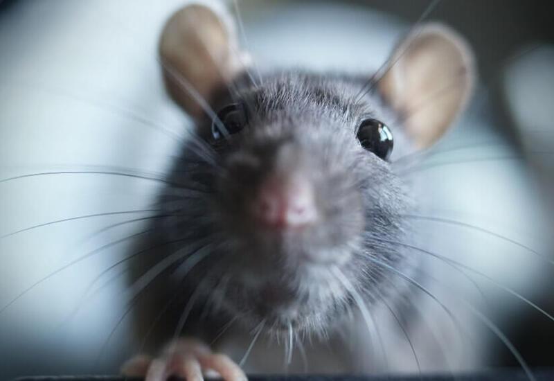 Крысы заполонили уличные кафе и рестораны в Нью-Йорке