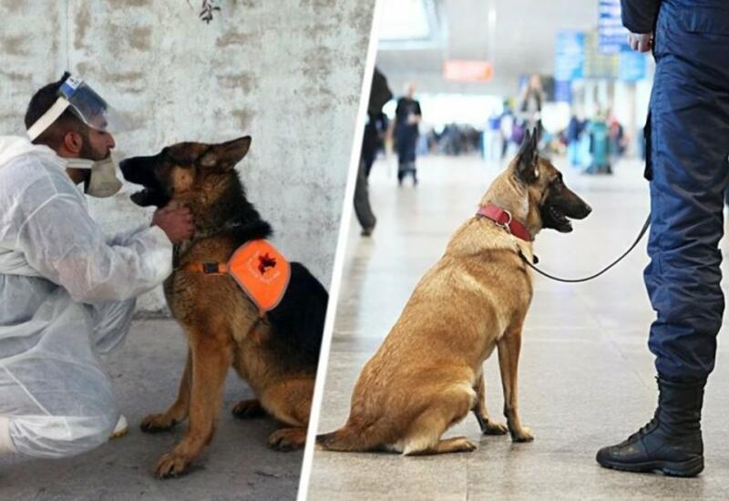 Собаки станут «детекторами» на COVID-19 в аэропорту