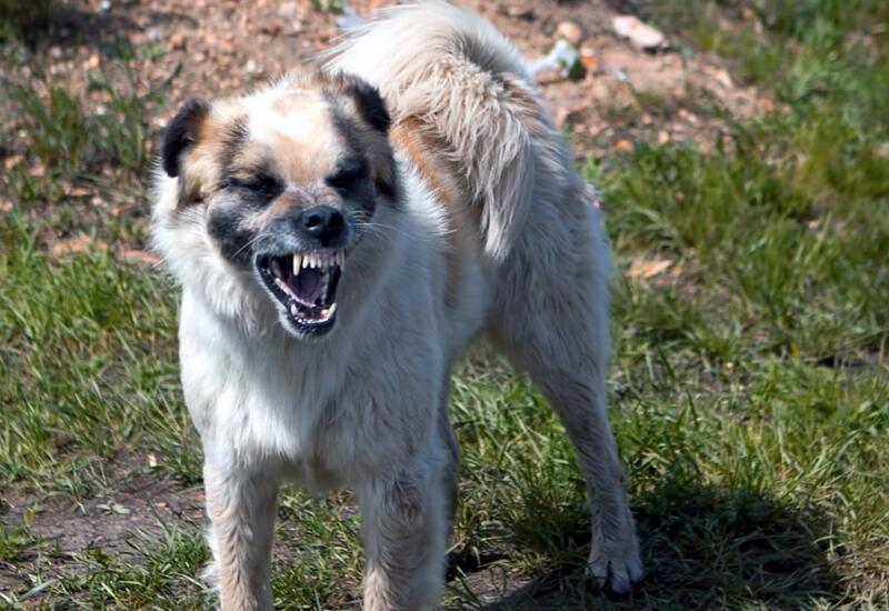 В России собаки покусали пятилетнюю девочку
