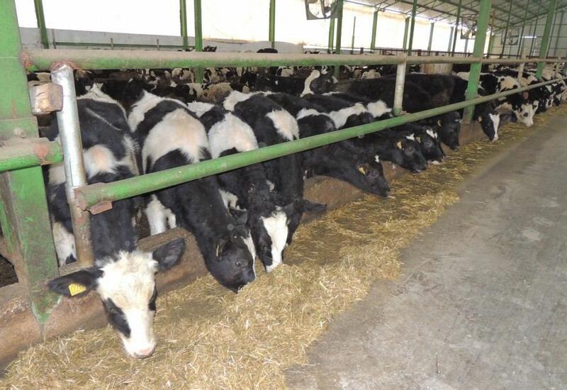 Агентство пищевой безопасности продолжает проверку скота на болезни