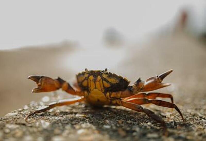 Крабы-мутанты поставили под угрозу рыболовство Британии