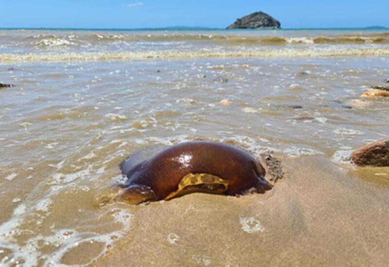 Загадочное коричневое существо нашли на побережье Австралии